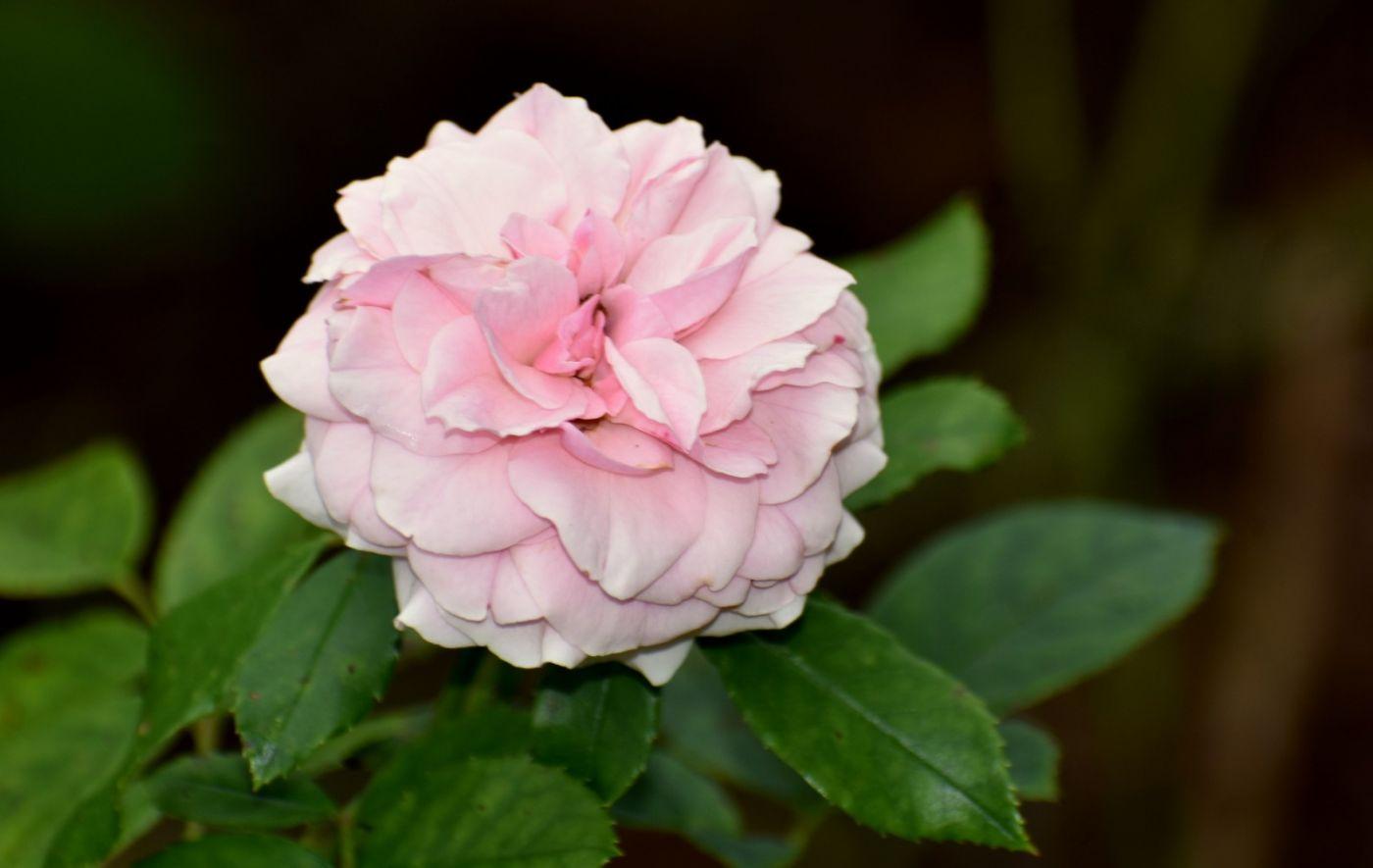 十月玫瑰花_图1-1
