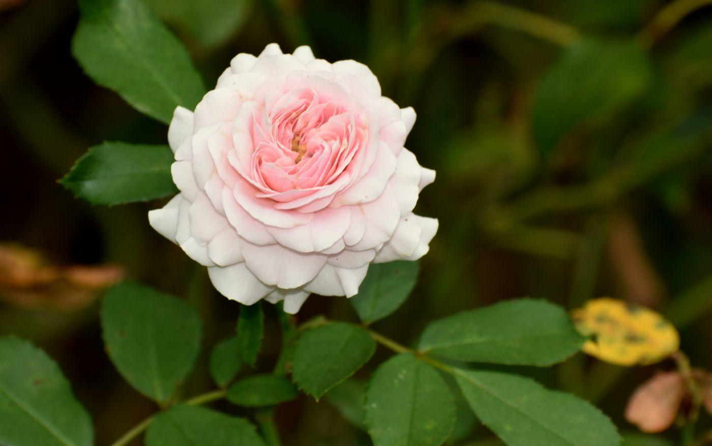 十月玫瑰花_图1-2