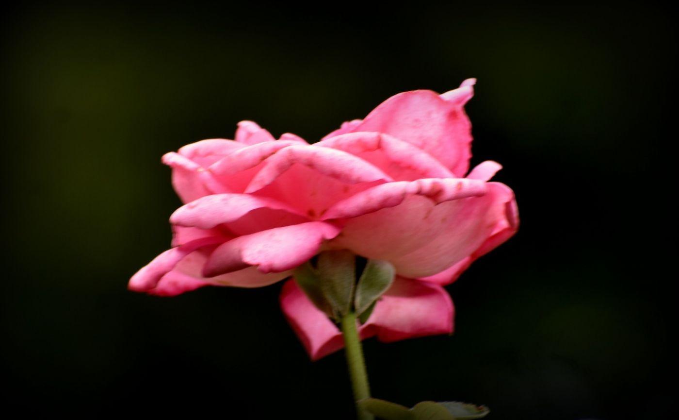 十月玫瑰花_图1-3