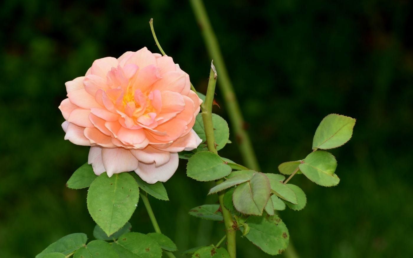 十月玫瑰花_图1-4