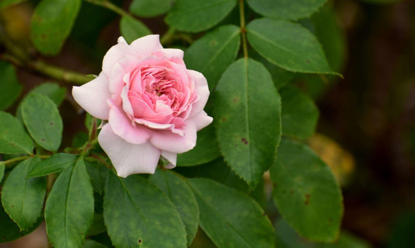 十月玫瑰花_图1-5