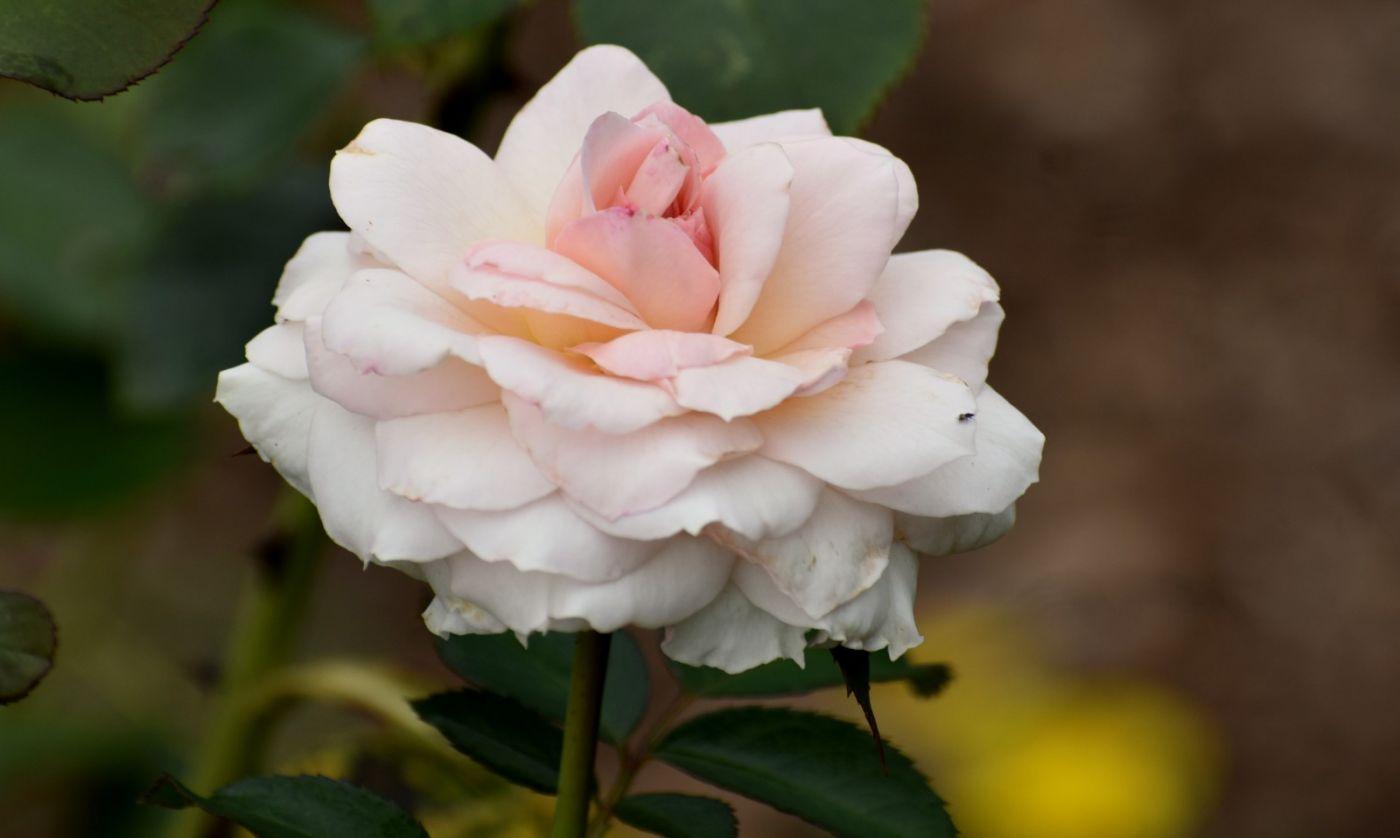 十月玫瑰花_图1-6