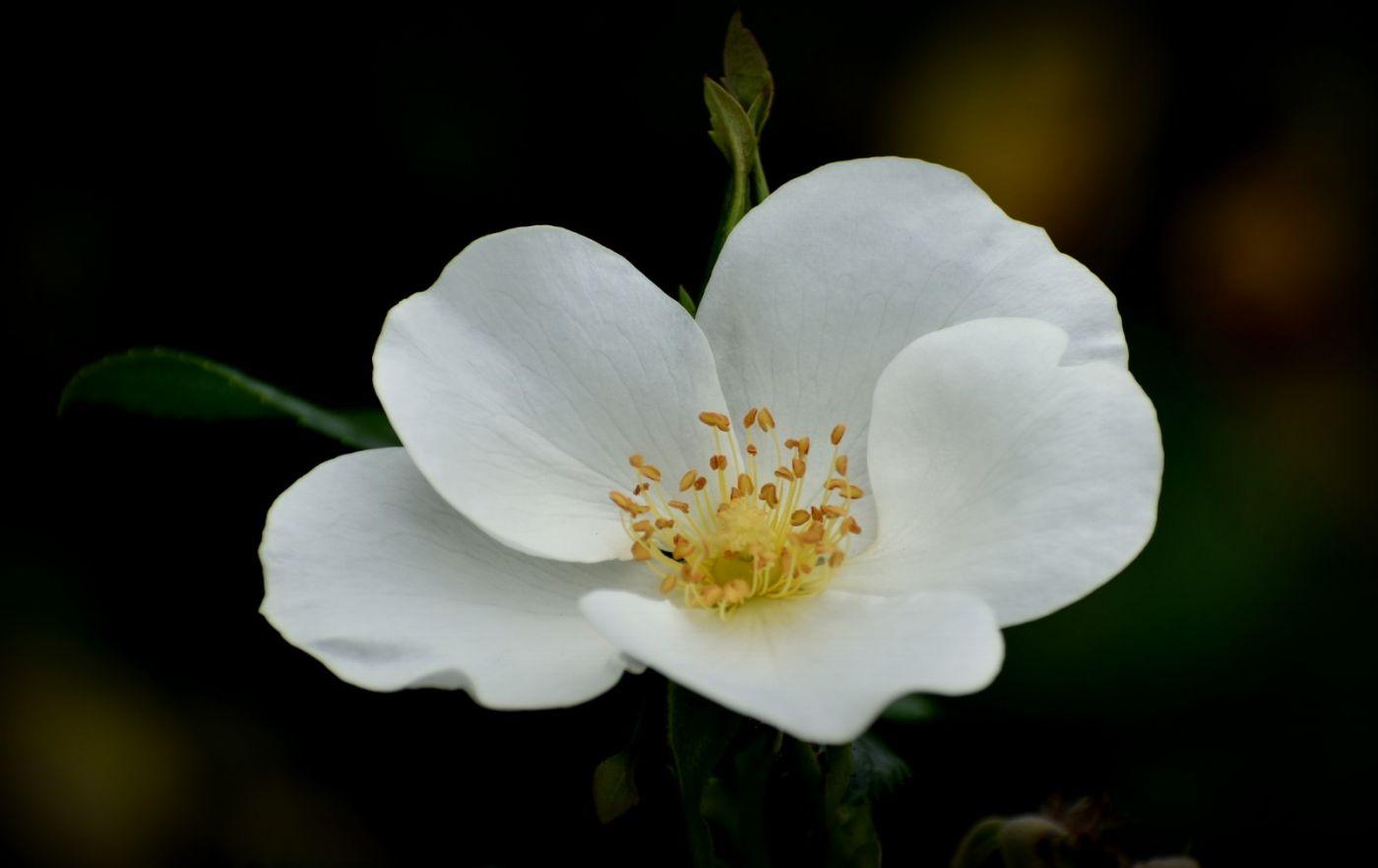 十月玫瑰花_图1-7