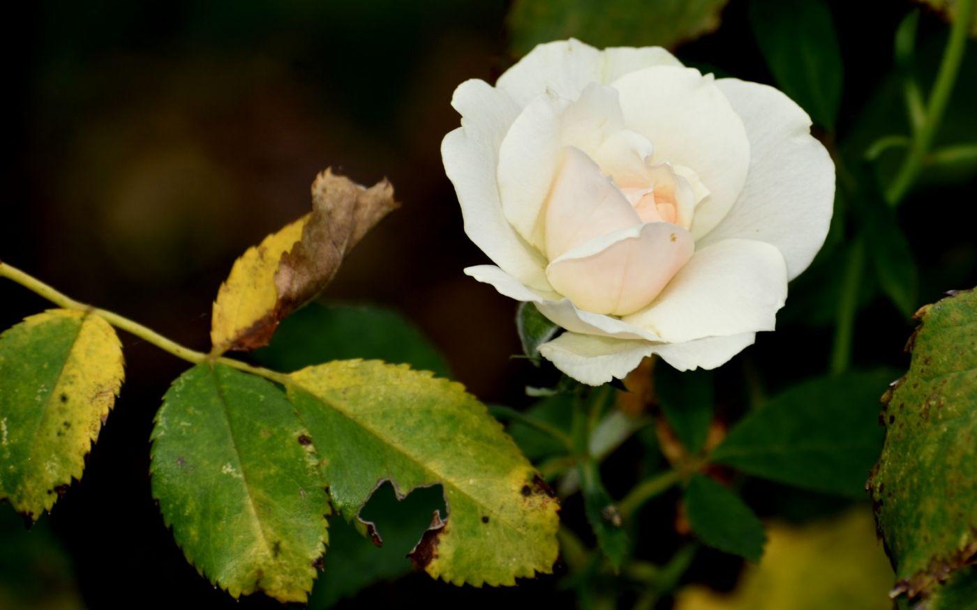 十月玫瑰花_图1-8