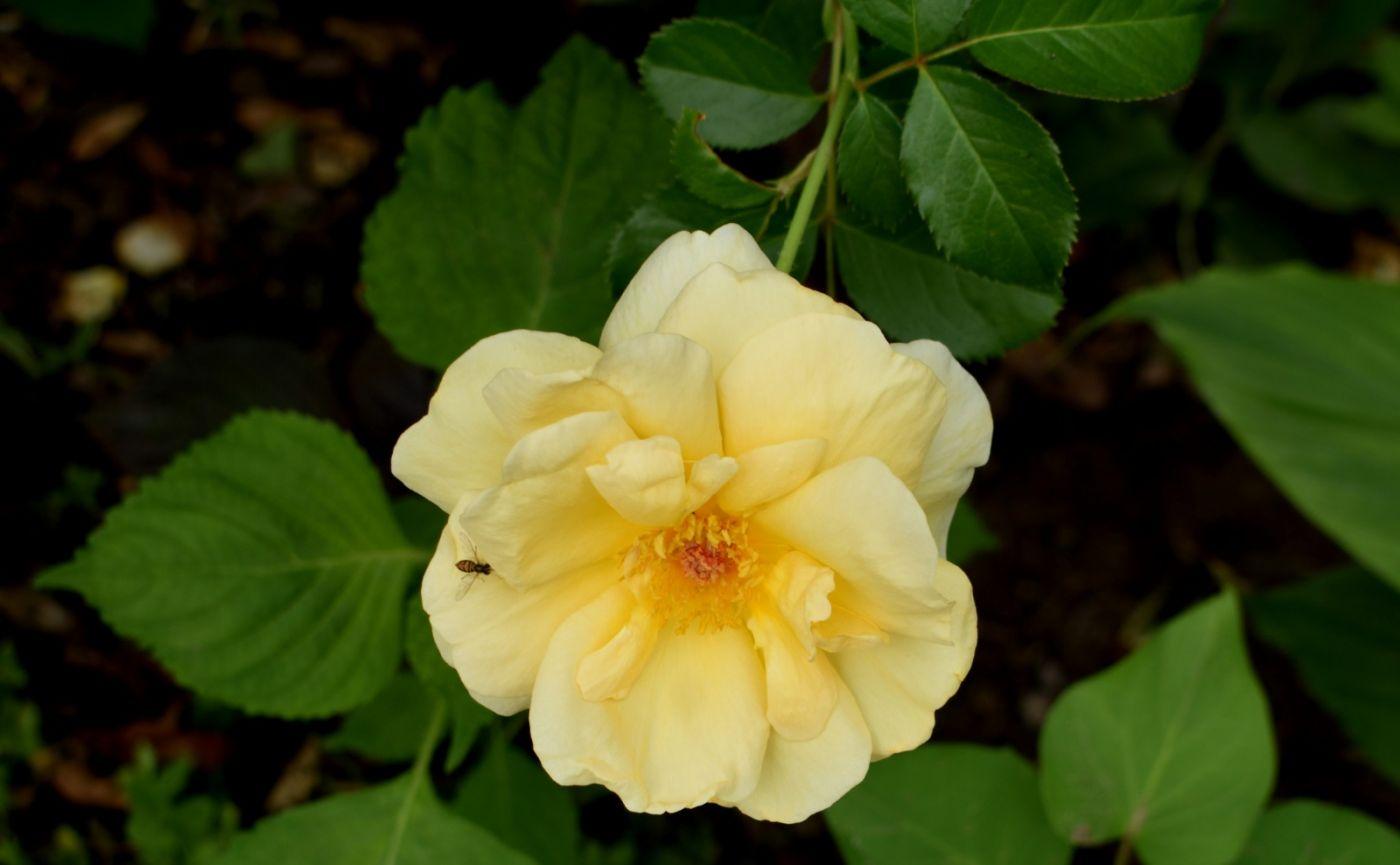 十月玫瑰花_图1-10