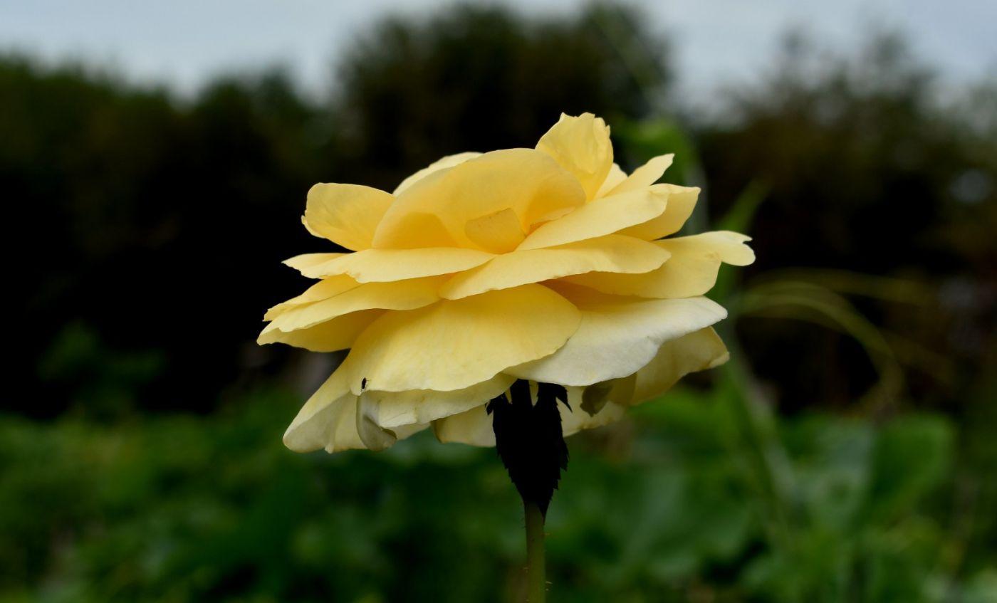 十月玫瑰花_图1-11