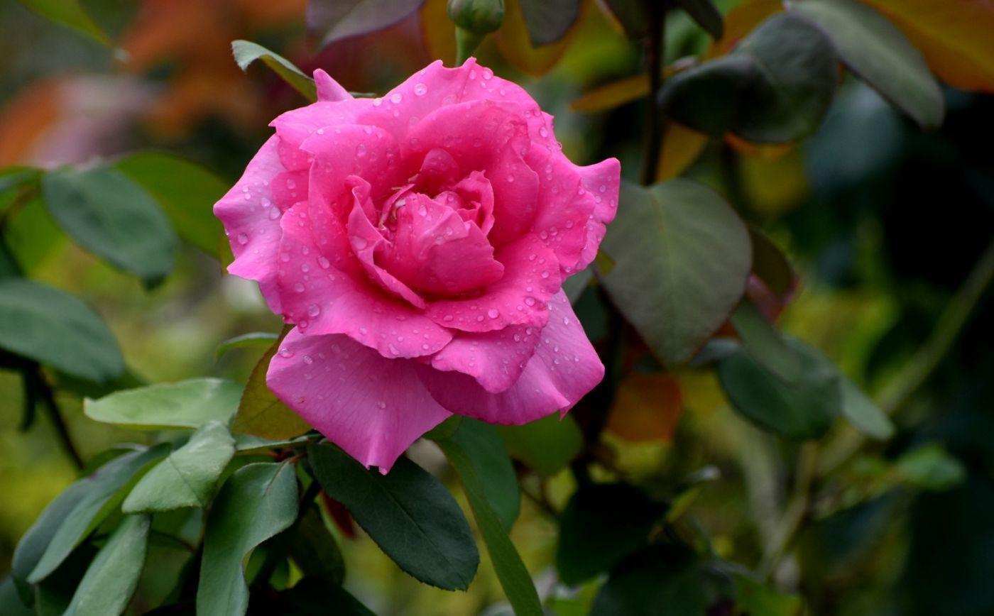 十月玫瑰花_图1-14