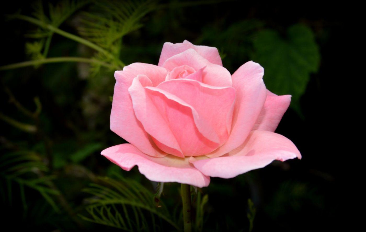 十月玫瑰花_图1-15