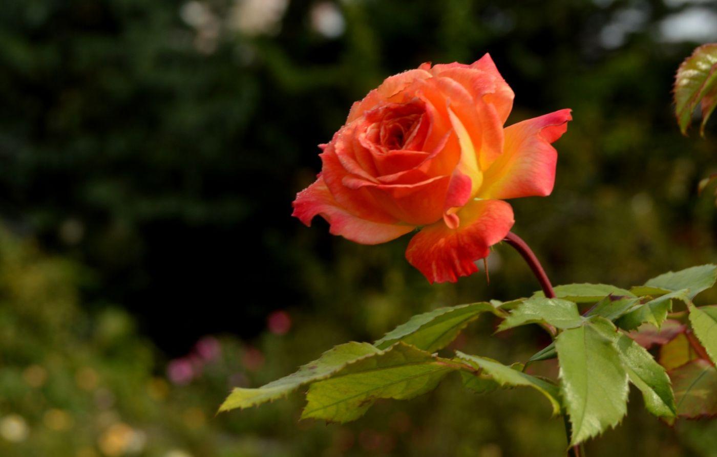 十月玫瑰花_图1-16