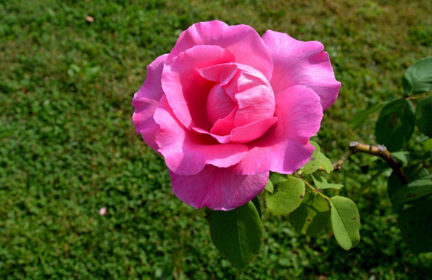 十月玫瑰花_图1-17