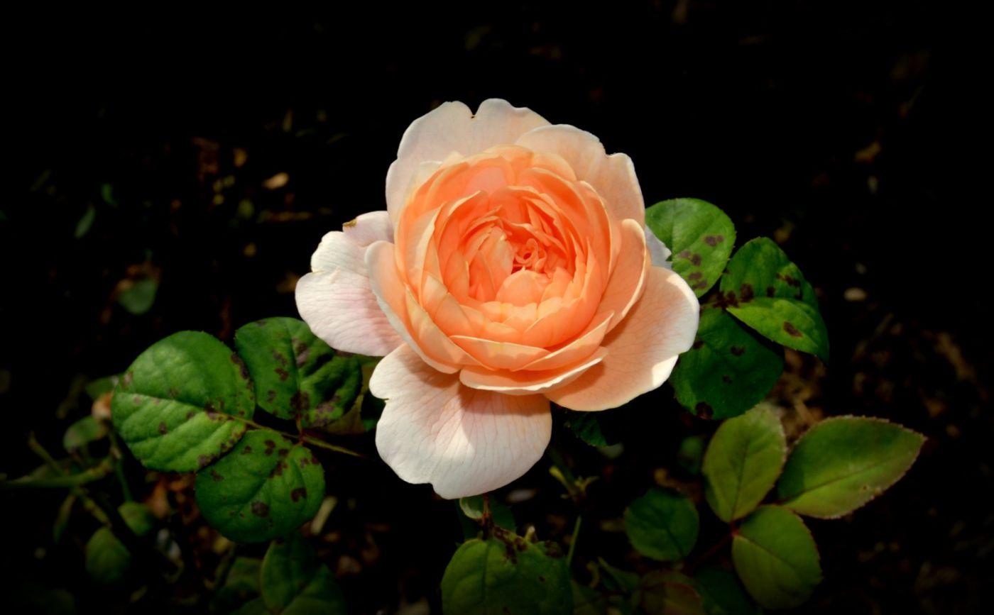 十月玫瑰花_图1-18