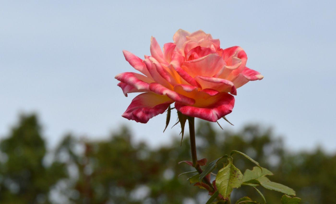 十月玫瑰花_图1-19