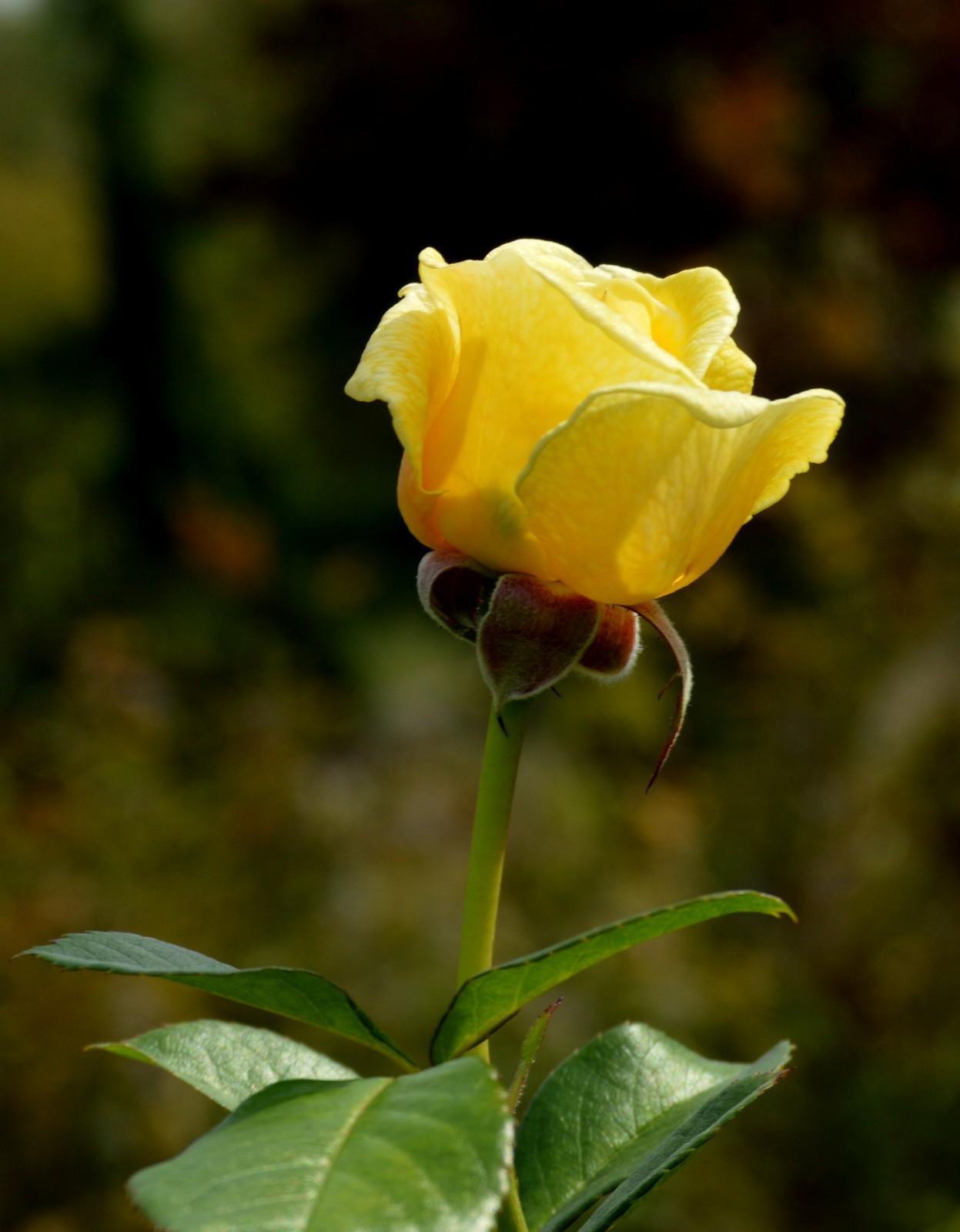 十月玫瑰花_图1-20