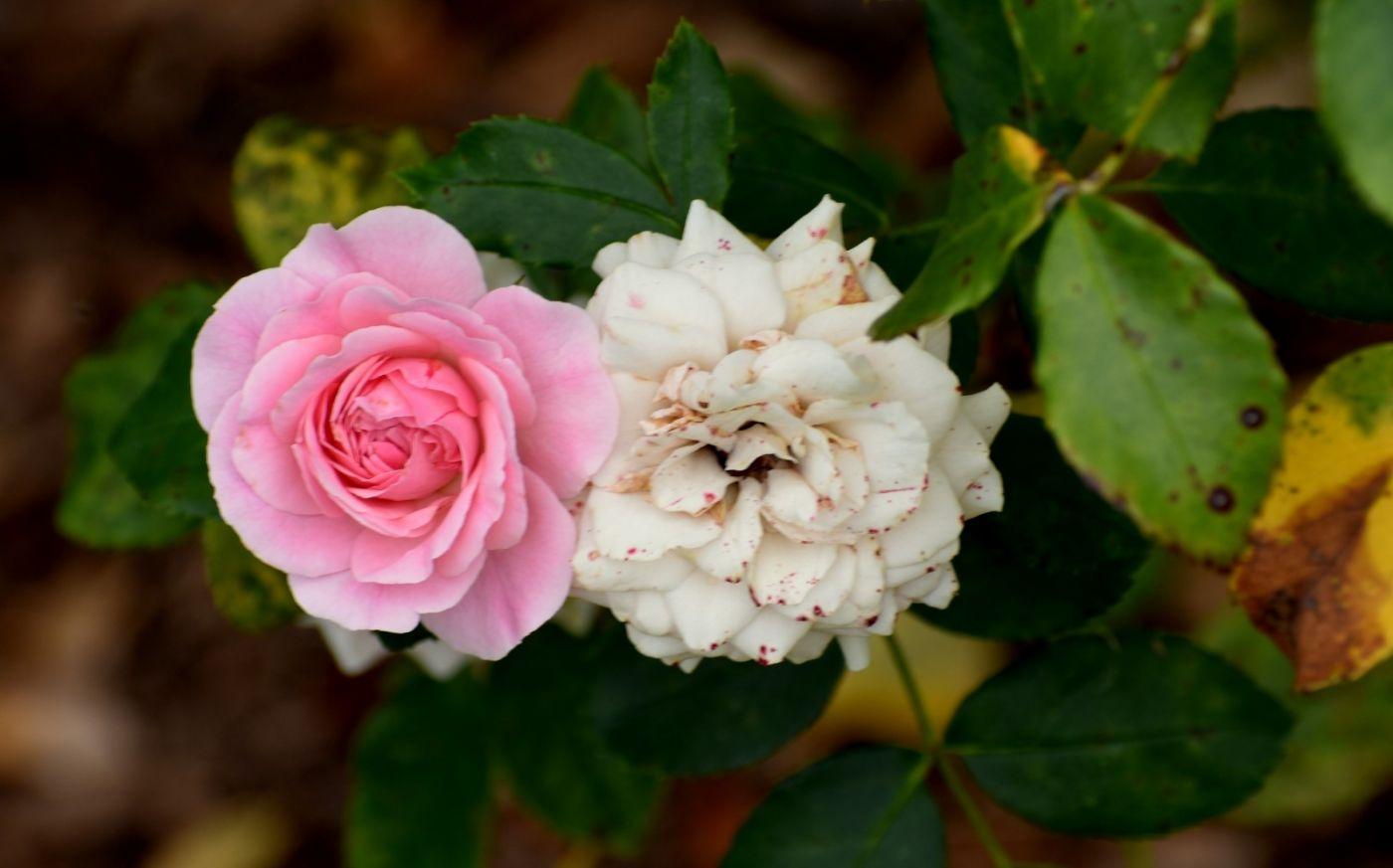 十月玫瑰花_图1-22