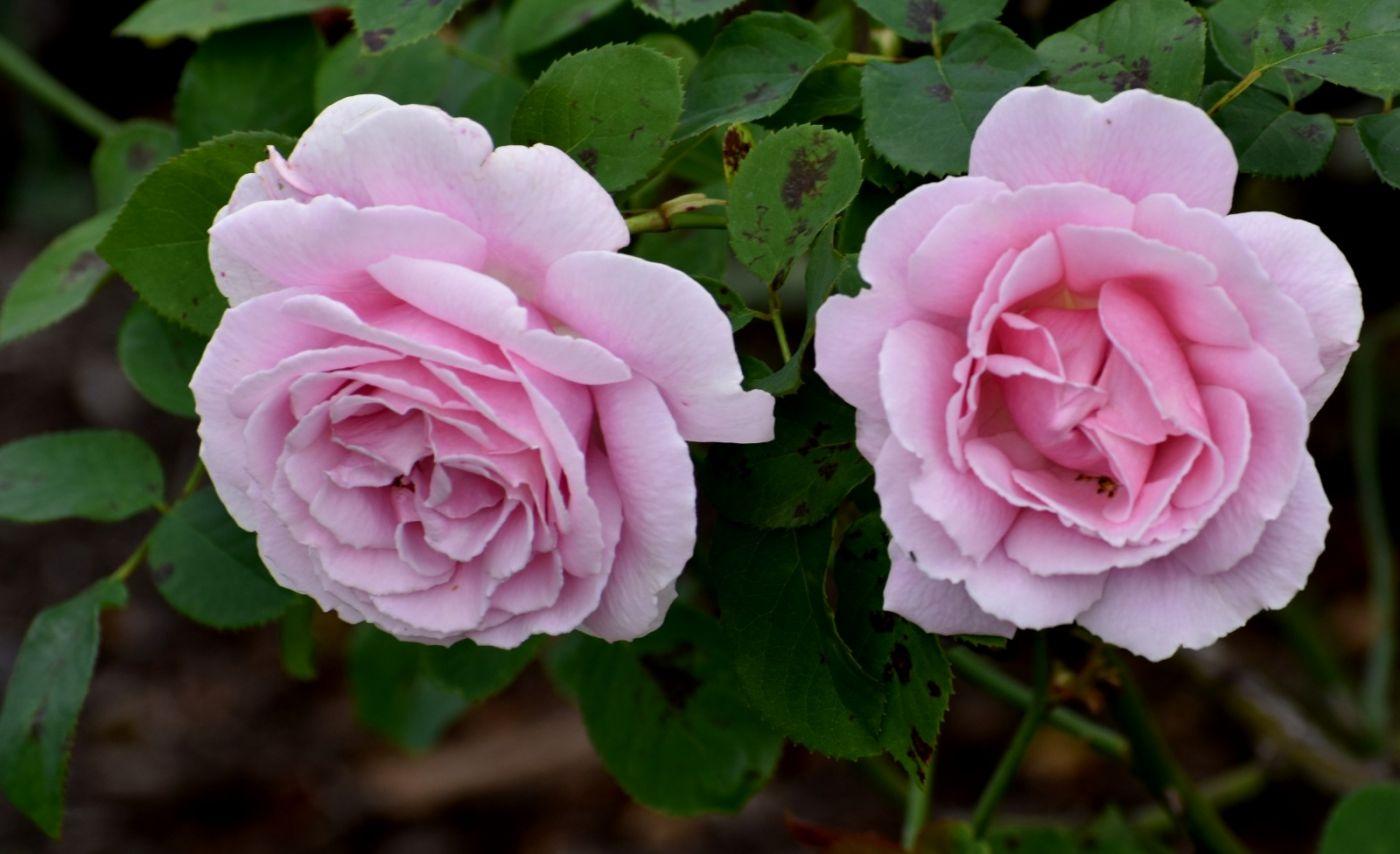 十月玫瑰花_图1-23