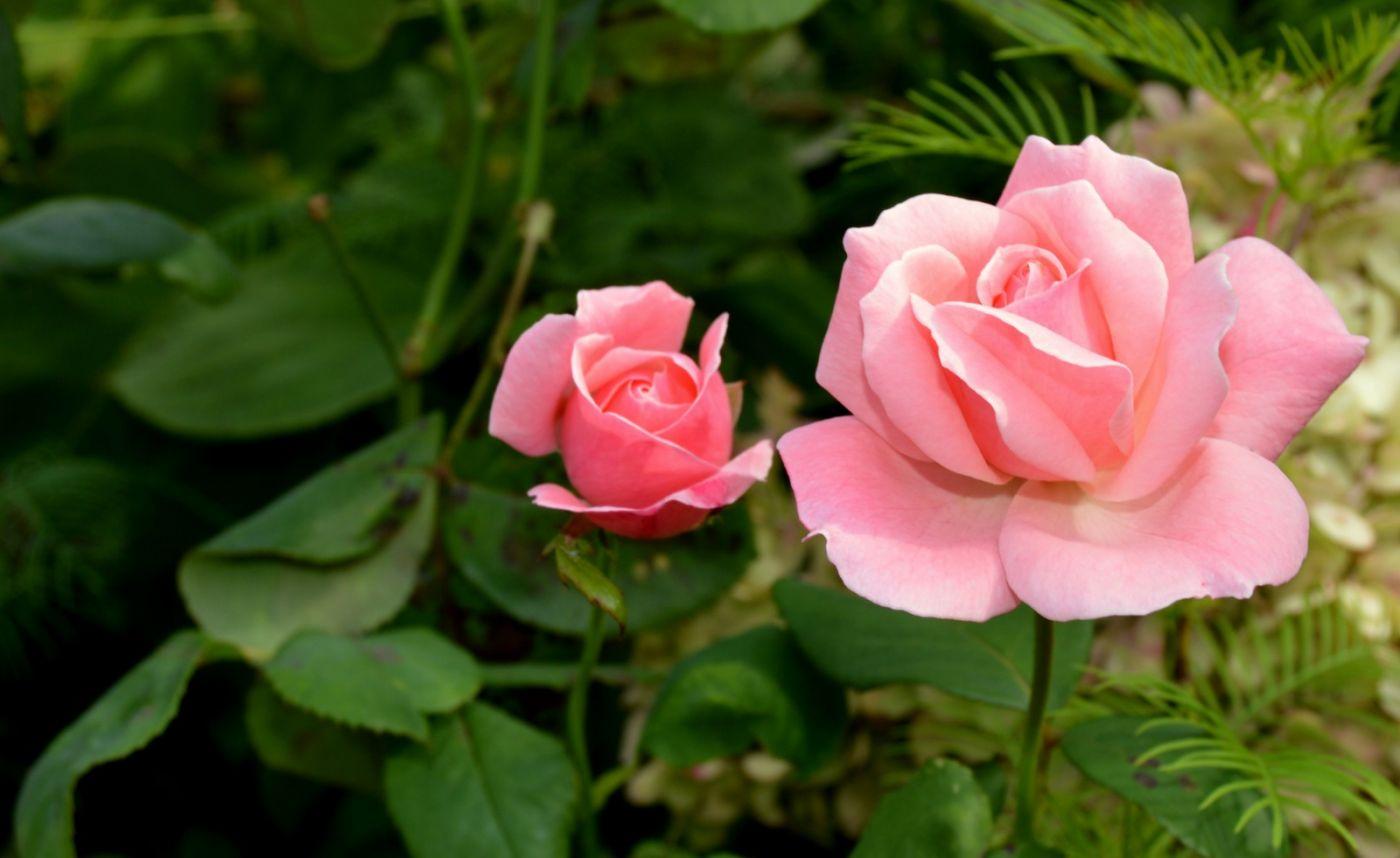 十月玫瑰花_图1-24