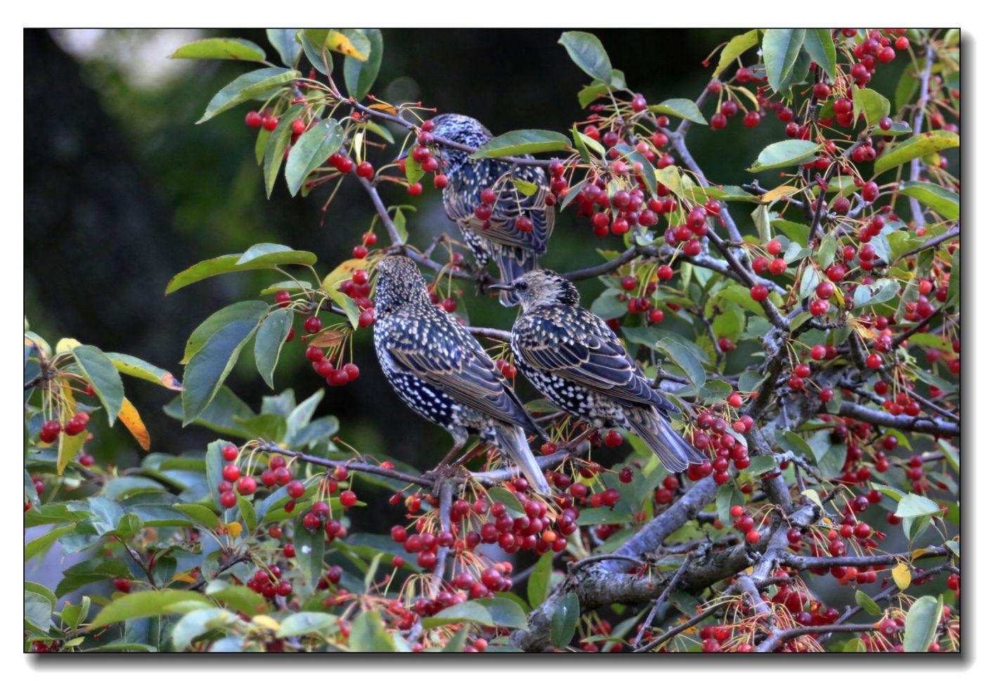 果熟鸟来图-紫翅椋鸟_图1-5