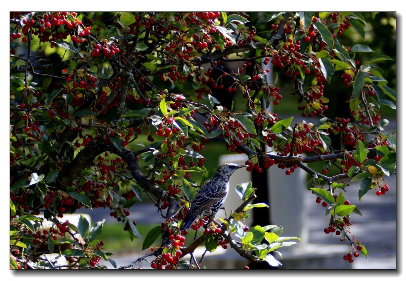 果熟鸟来图-紫翅椋鸟_图1-10