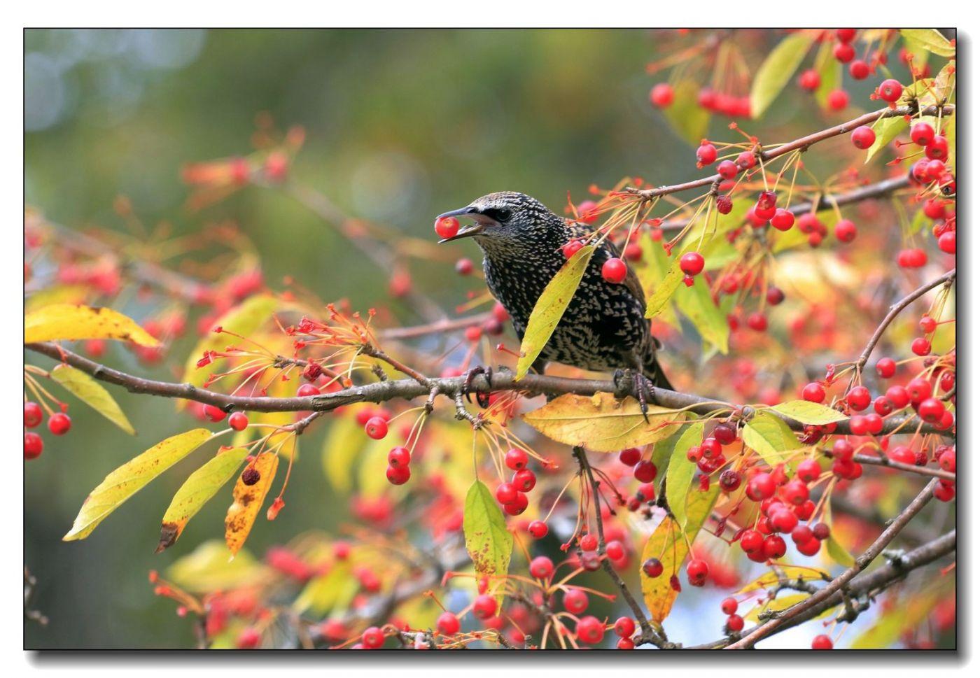 果熟鸟来图-紫翅椋鸟_图1-11