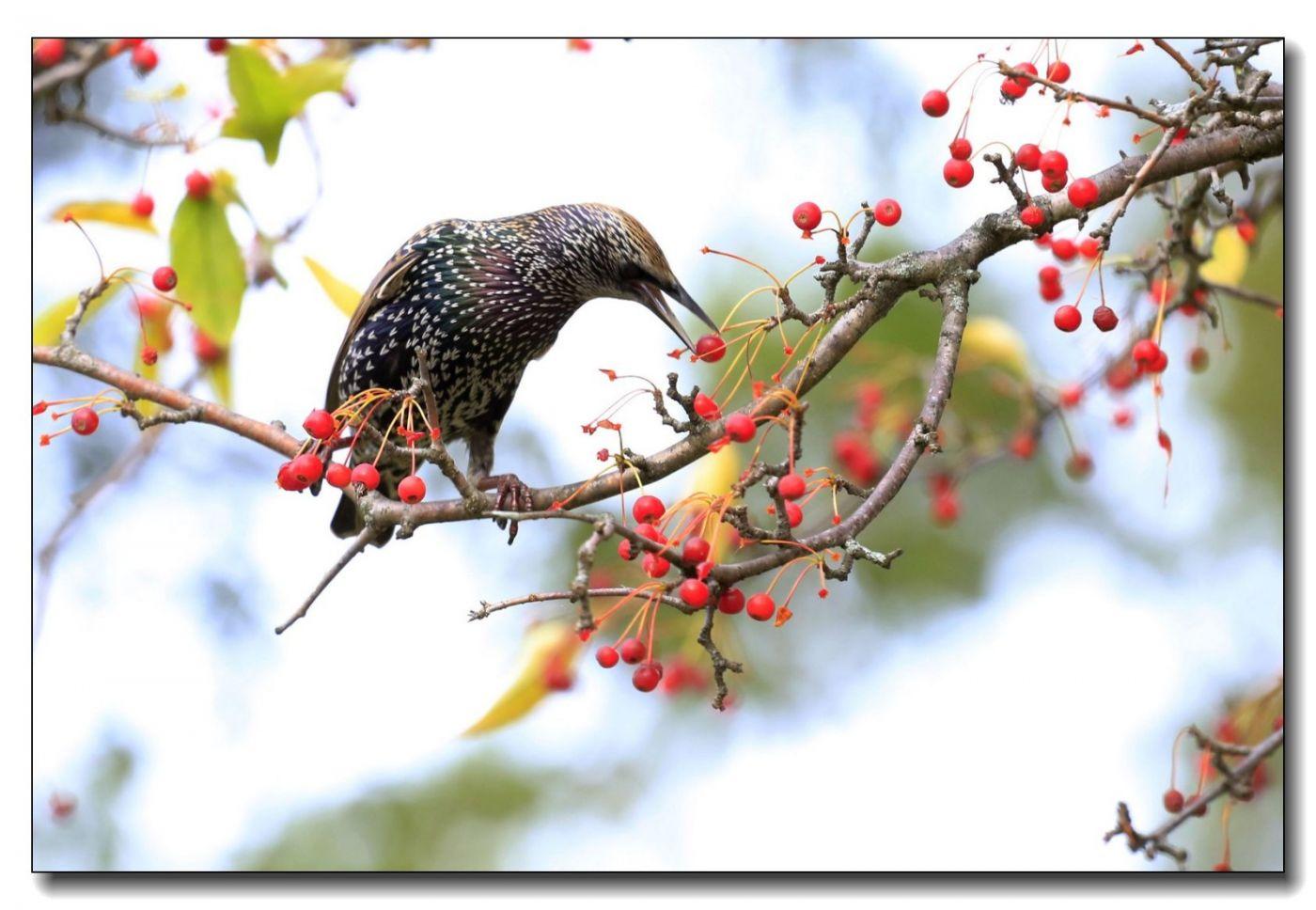 果熟鸟来图-紫翅椋鸟_图1-12