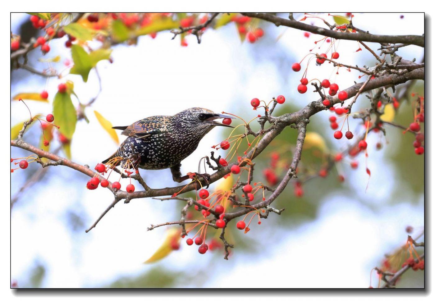 果熟鸟来图-紫翅椋鸟_图1-13