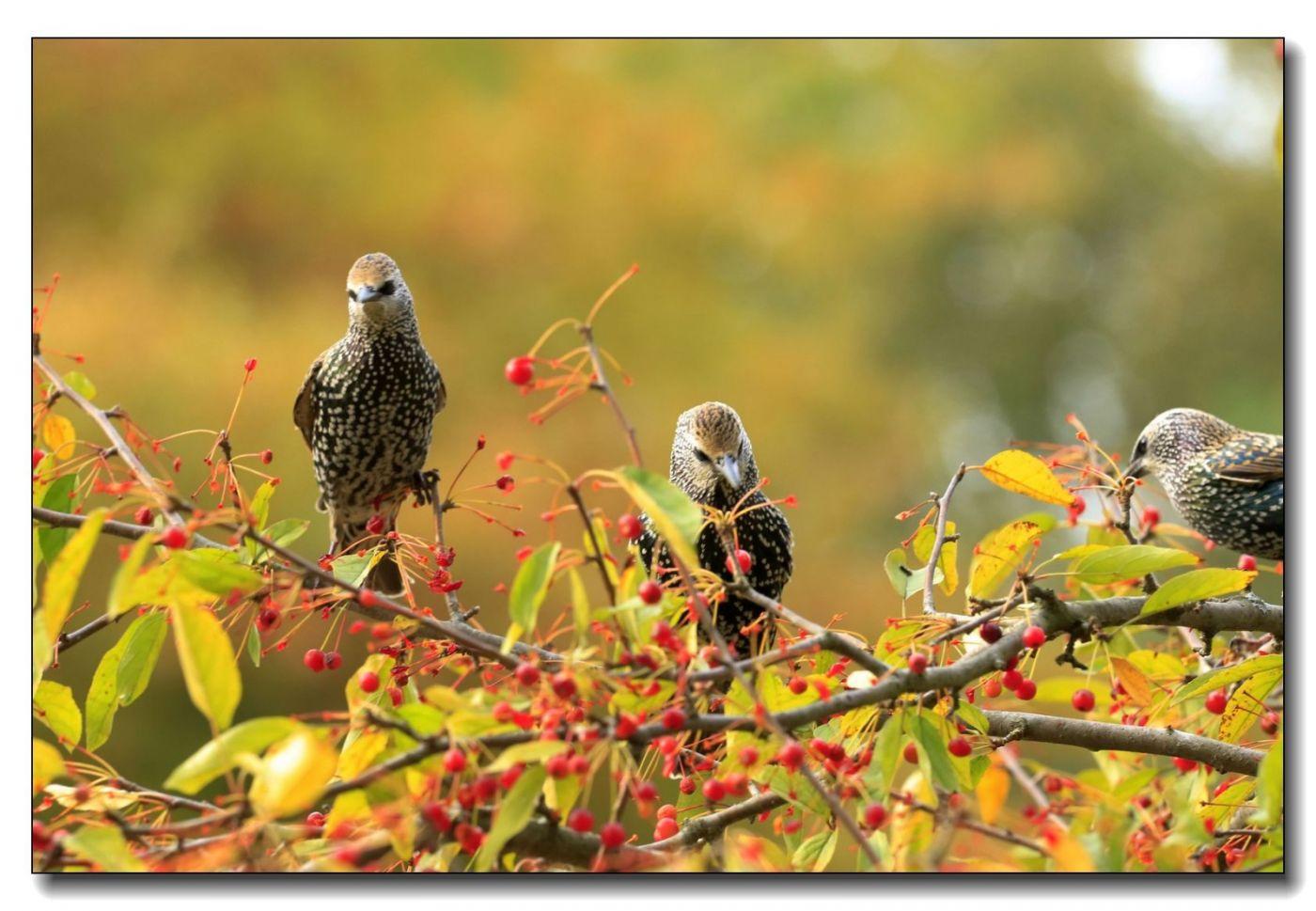 果熟鸟来图-紫翅椋鸟_图1-15