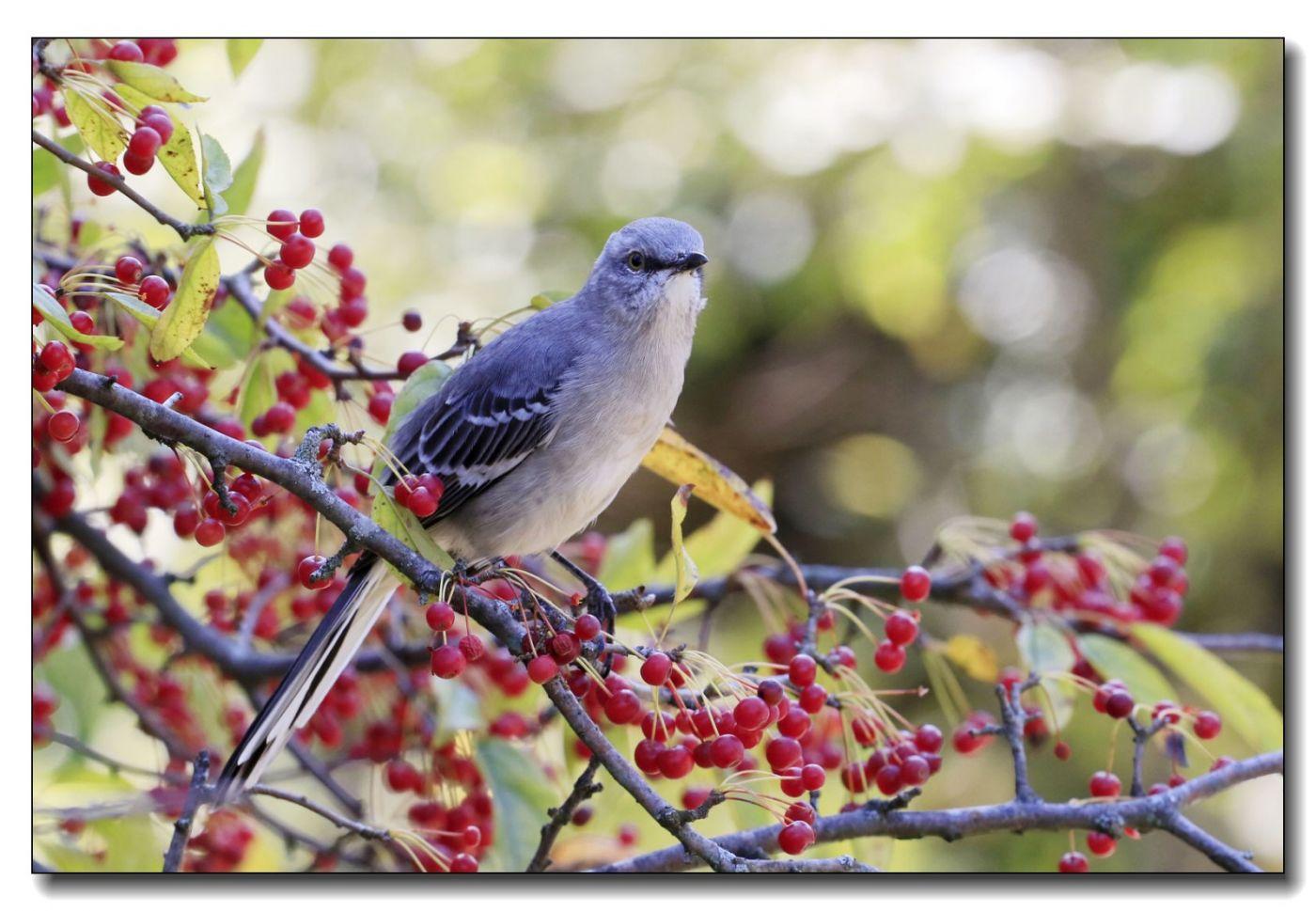 果熟鸟来图-知更鸟、灰猫朝鸫_图1-7