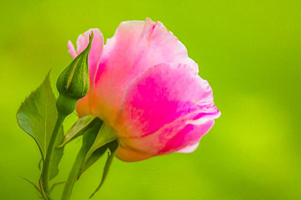玫瑰花,美丽动人_图1-2