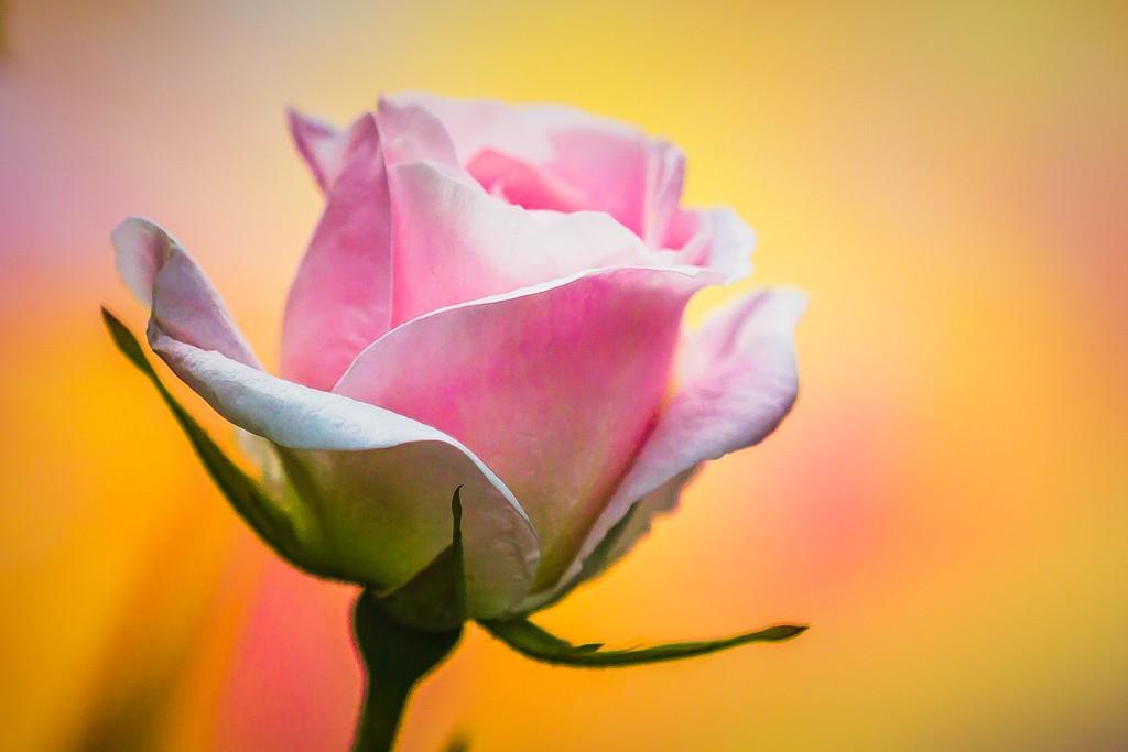 玫瑰花,美丽动人_图1-1