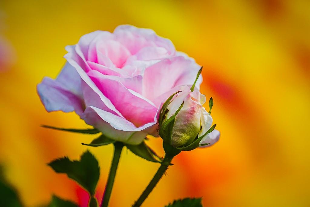 玫瑰花,美丽动人_图1-4