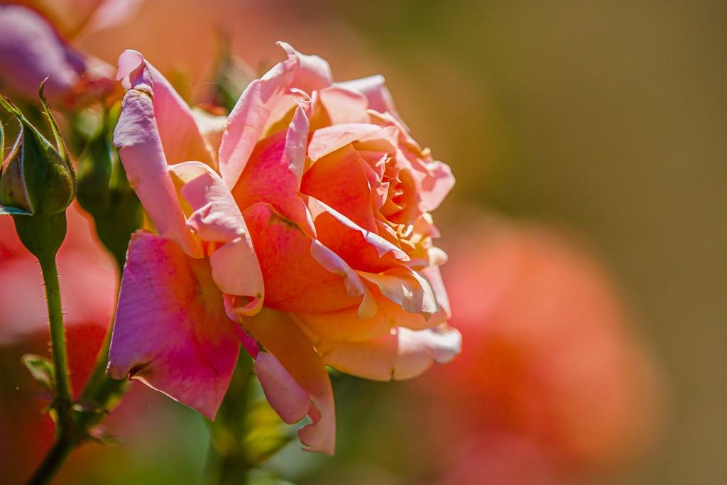 玫瑰花,美丽动人_图1-5