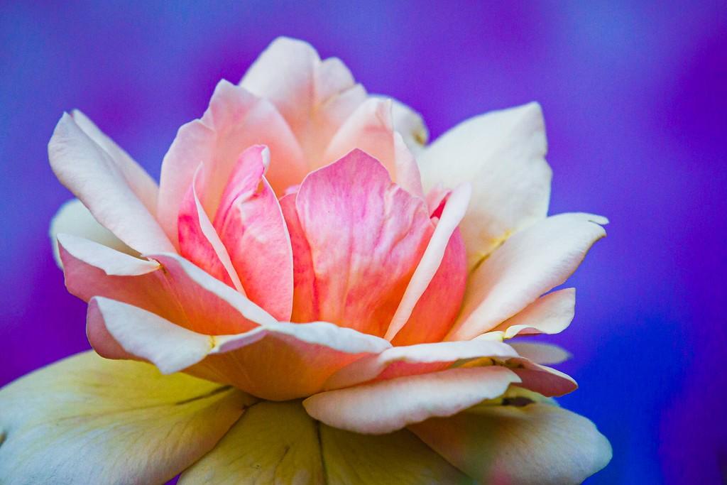 玫瑰花,美丽动人_图1-7
