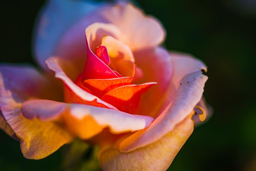 玫瑰花,美丽动人_图1-12