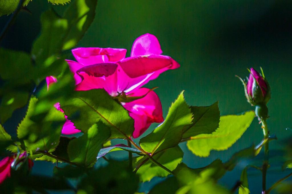 玫瑰花,美丽动人_图1-14