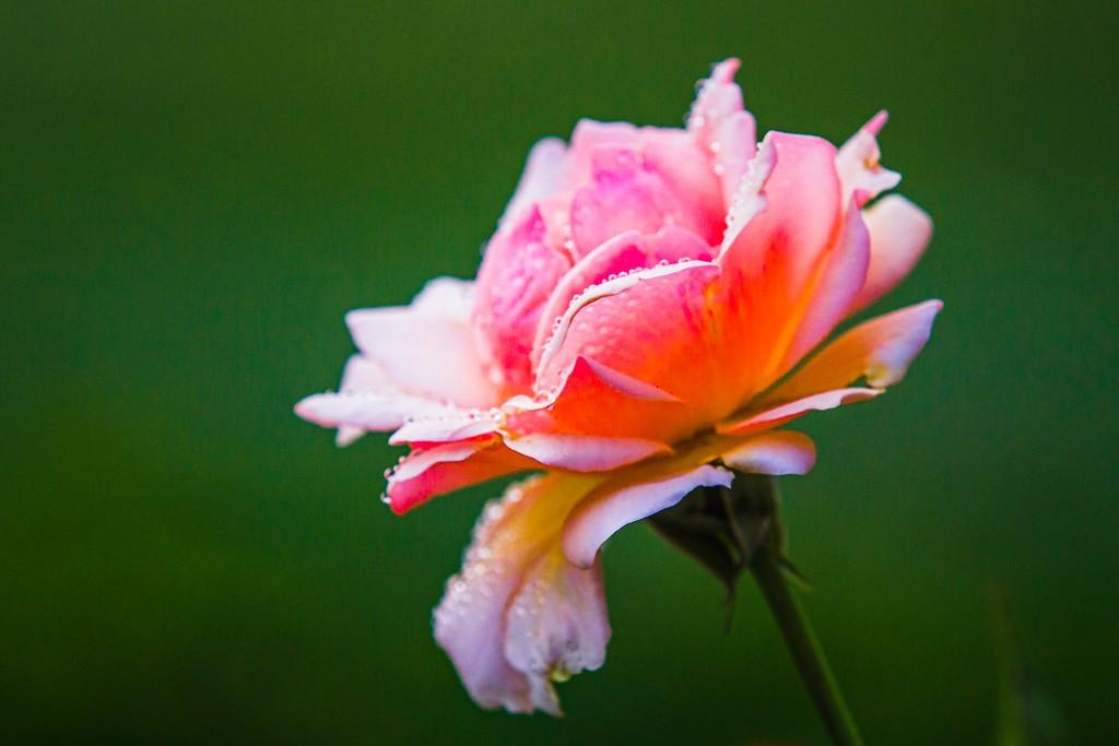 玫瑰花,美丽动人_图1-20