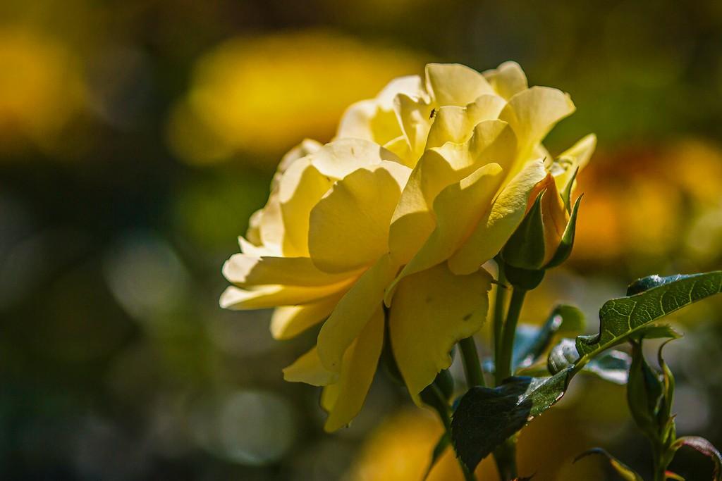 玫瑰花,美丽动人_图1-18