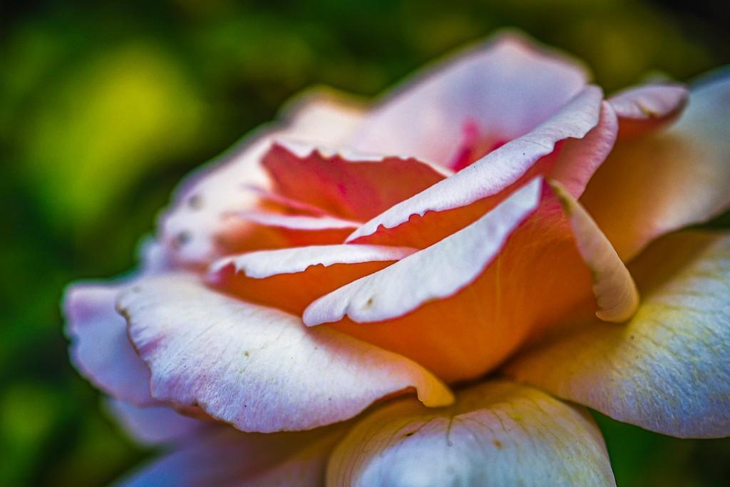 玫瑰花,美丽动人_图1-19