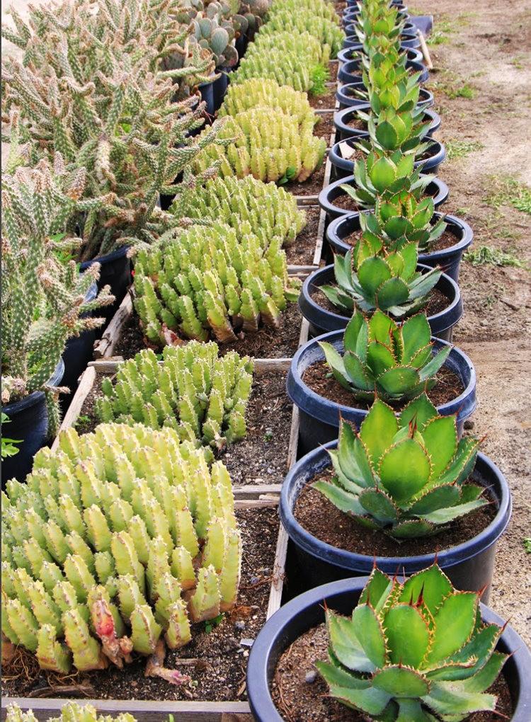 棕榈泉元帅仙人掌与多肉植物苗圃_图1-5