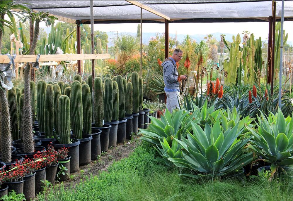棕榈泉元帅仙人掌与多肉植物苗圃_图1-6