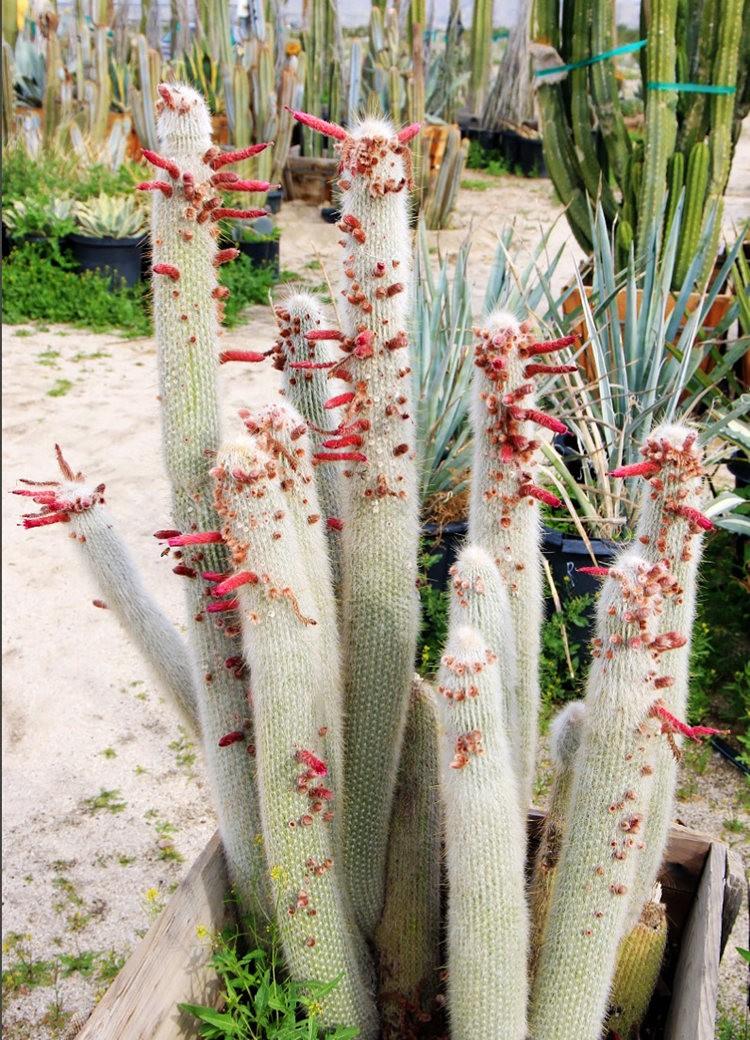 棕榈泉元帅仙人掌与多肉植物苗圃_图1-9