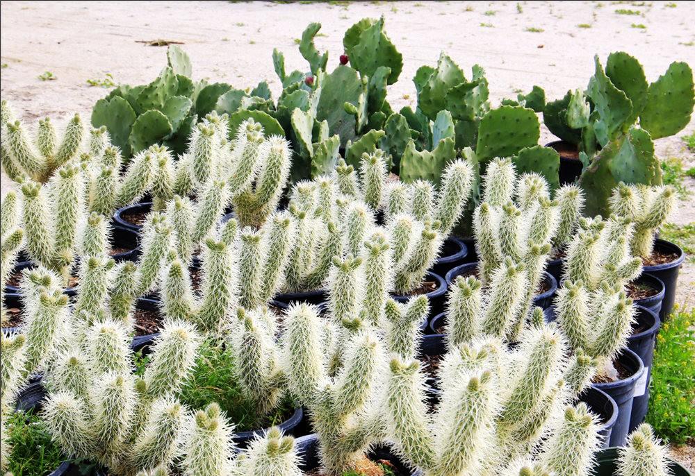 棕榈泉元帅仙人掌与多肉植物苗圃_图1-22