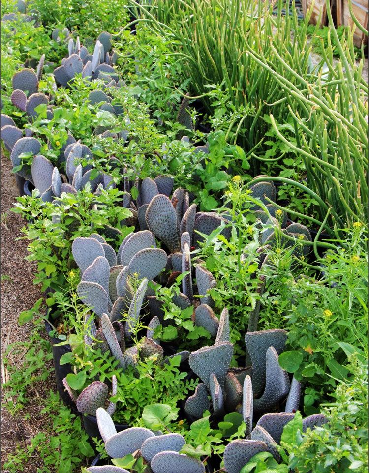 棕榈泉元帅仙人掌与多肉植物苗圃_图1-28