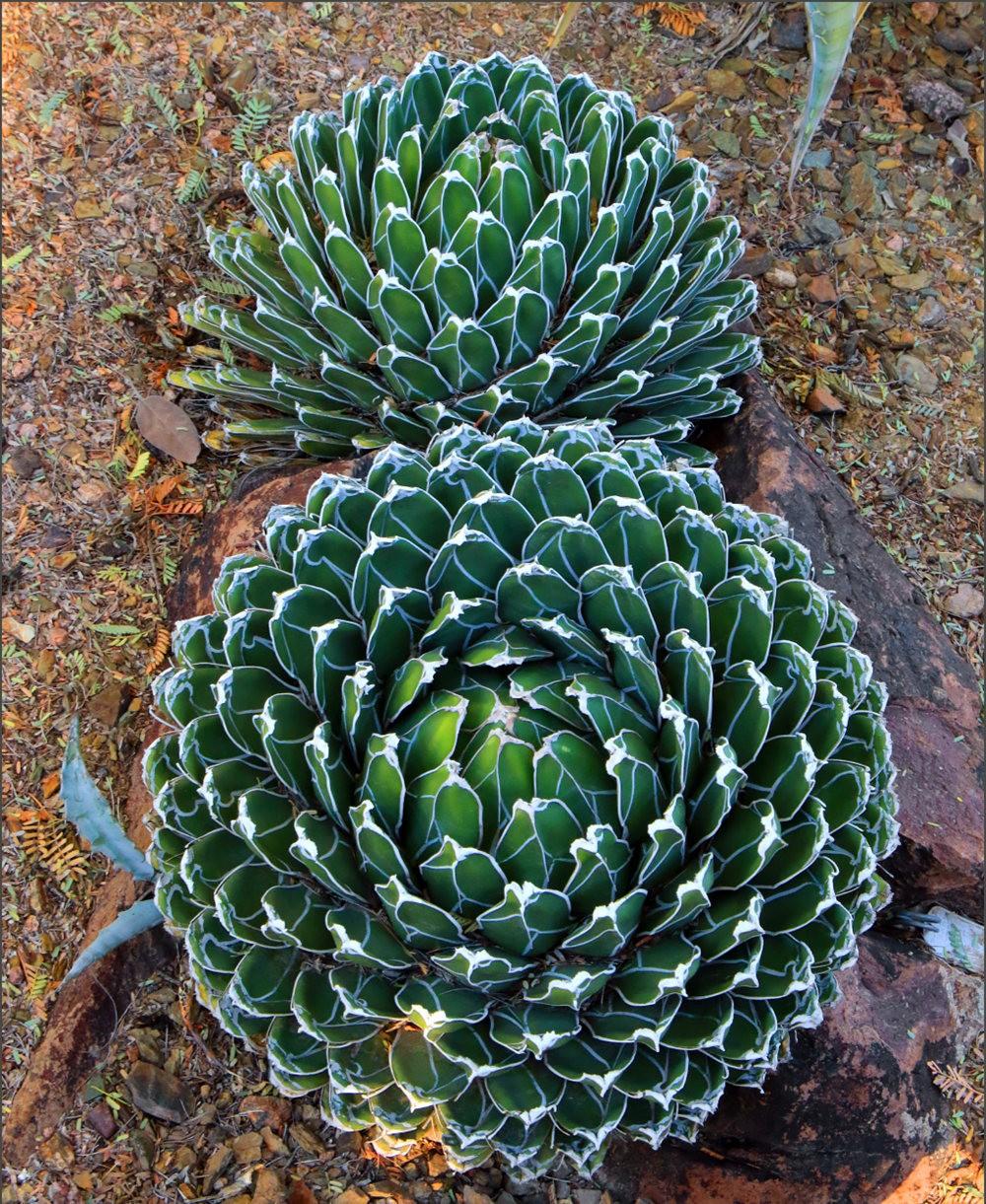 凤凰城沙漠植物园---2_图1-3