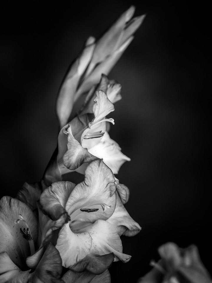 菖兰花,黑白感受_图1-7