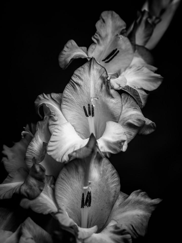 菖兰花,黑白感受_图1-10