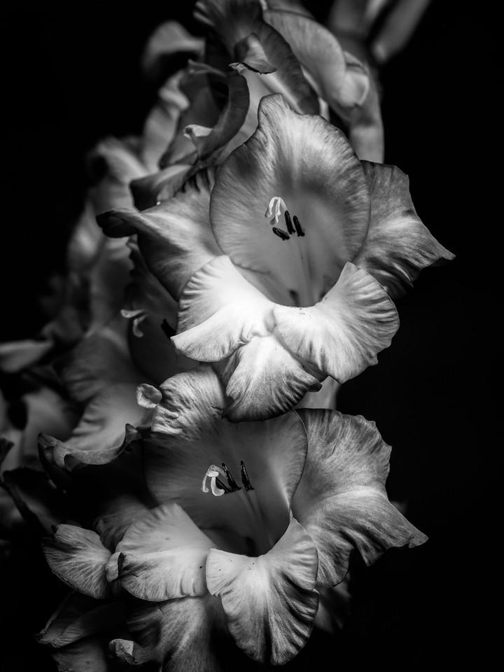 菖兰花,黑白感受_图1-2
