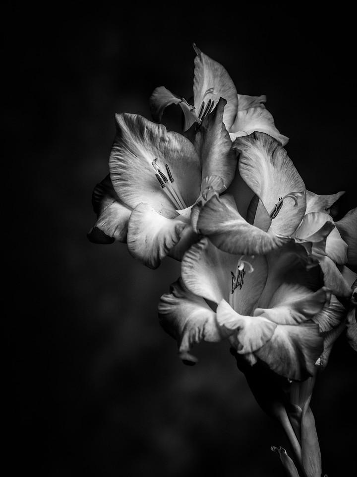 菖兰花,黑白感受_图1-3