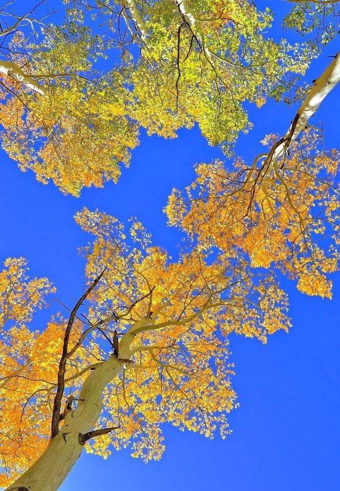 秋拍白扬树_图1-3