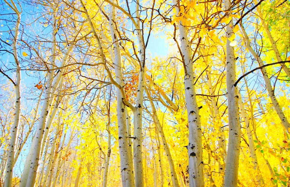 秋拍白扬树_图1-8