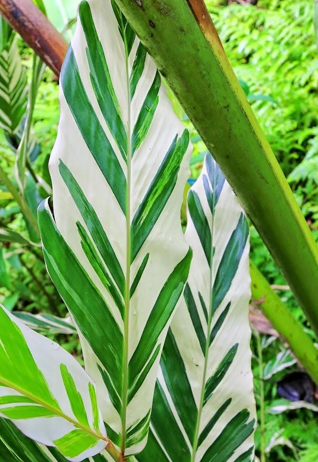 参观夏威夷热带生物保护区花园_图1-15